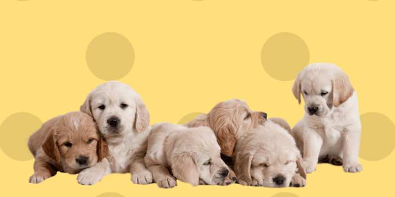 Cachorros de perro golden