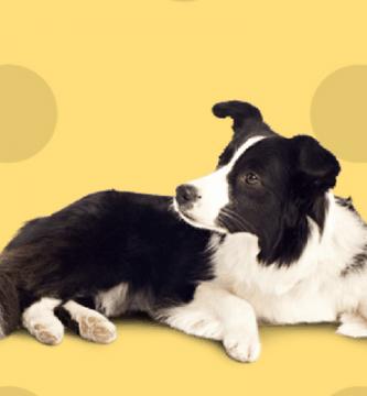 Perro acostado, negro y blanco
