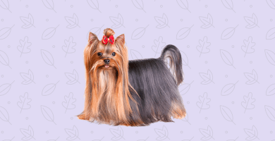 Perro pelo largo yorkshire