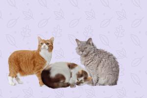 gato Snowshoe, balinés, manx y Selkrik Rex